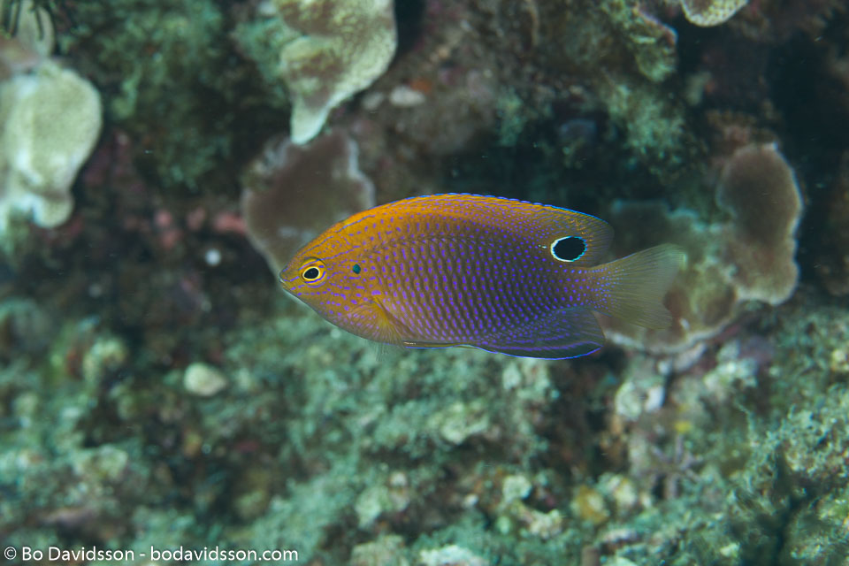 BD-141021-Bali-5864-Pomacentrus-vaiuli.-Jordan---Seale.-1906-[Ocellate-damsellfish].jpg